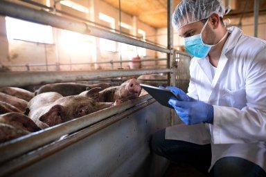 Africký mor prasat je velmi nebezpečné, nakažlivé onemocnění domácích idivokých prasat všech plemen. Léčba neexistuje, upozorňuje Státní veterinární správa, která jeho šíření sleduje.