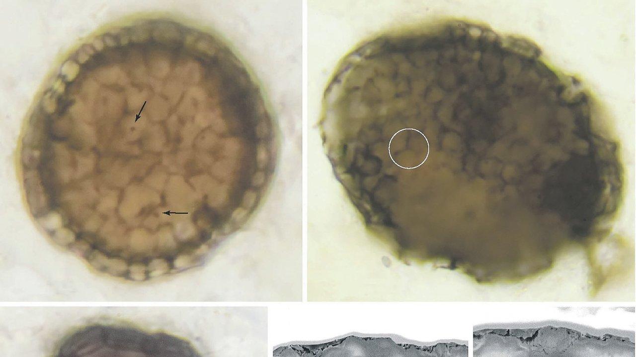 Vnitřek tvora vyplňovaly kulovité buňky, zatímco jeho obal tvořily buňky podélné.