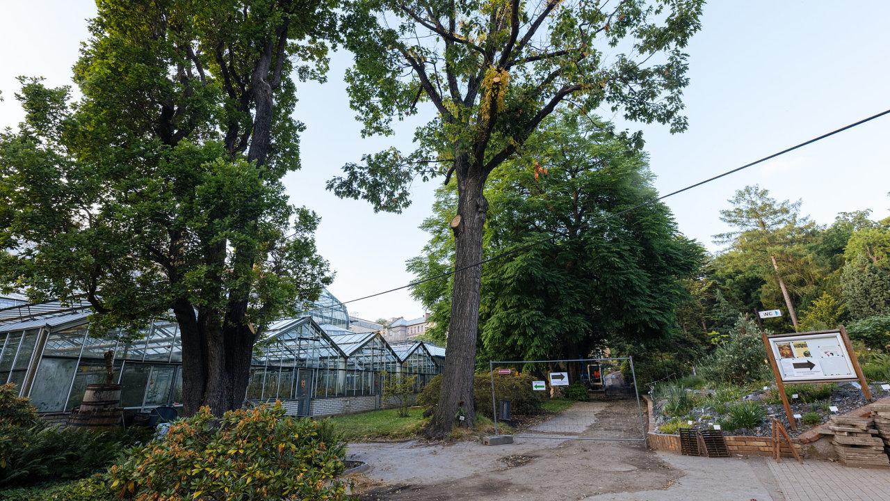 Dub červený, Botanická zahrada UK, kácení, strom Praha, 23. 6. 2021