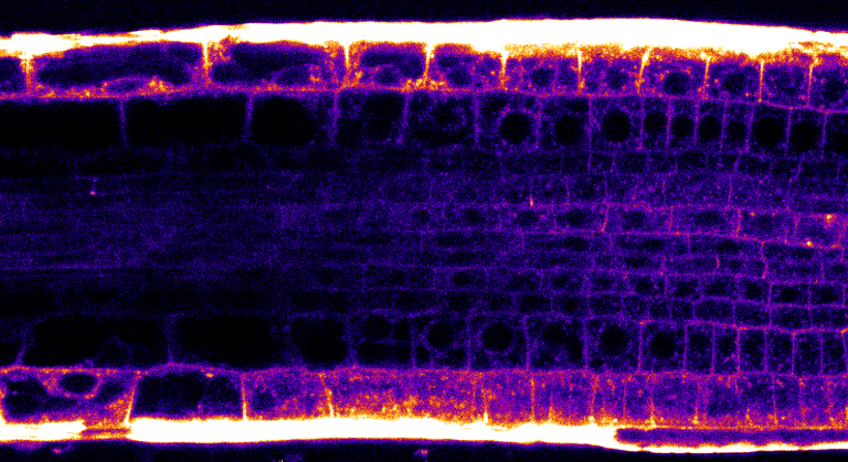 Optický řez kořenovou špičkou, ve které jsou buňky zvýrazněny podle membránového potenciálu.