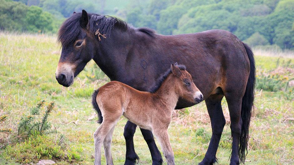 Exmoorský poník se vrátí do Čech.