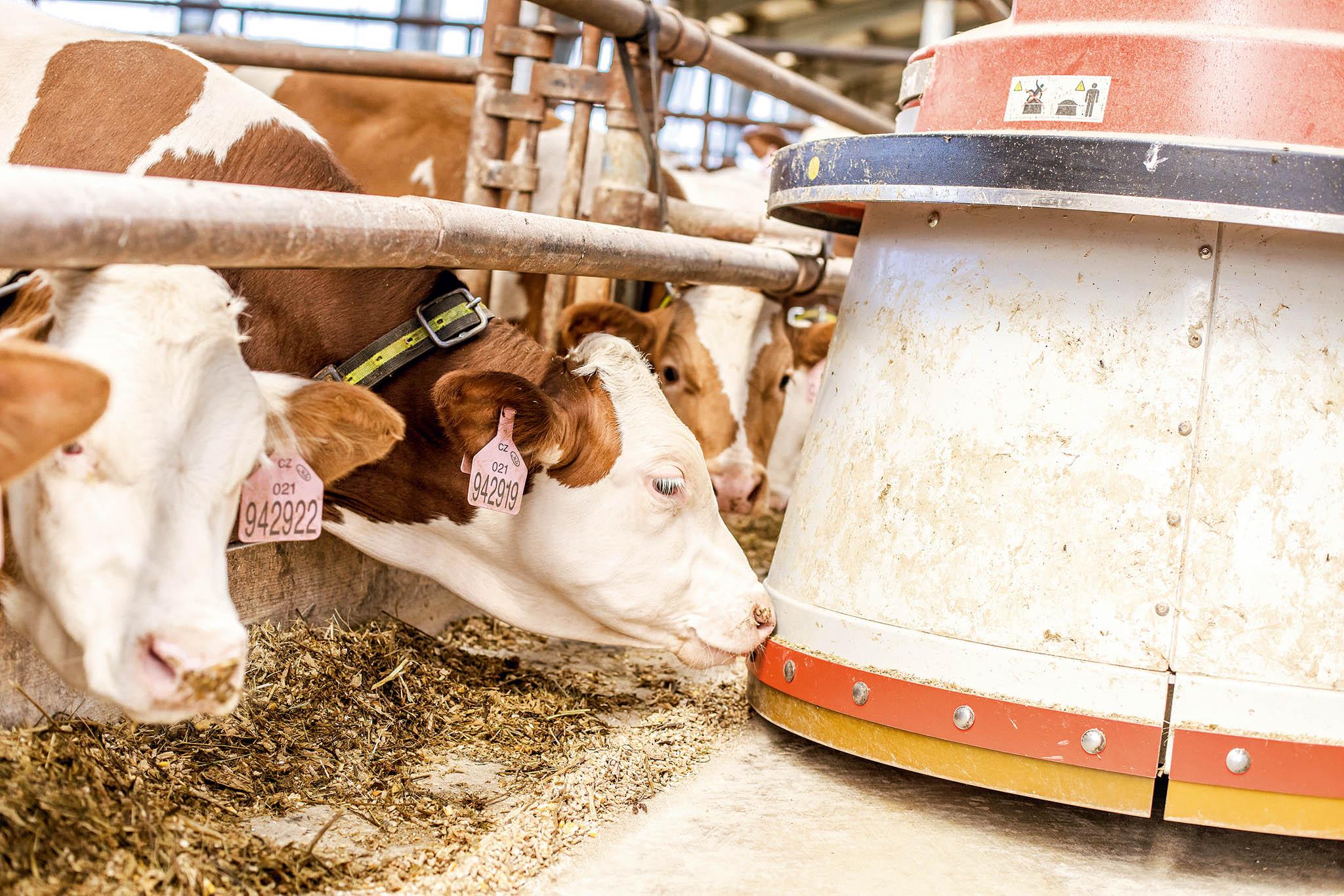 Robotický podavač býky krmí každou hodinu.