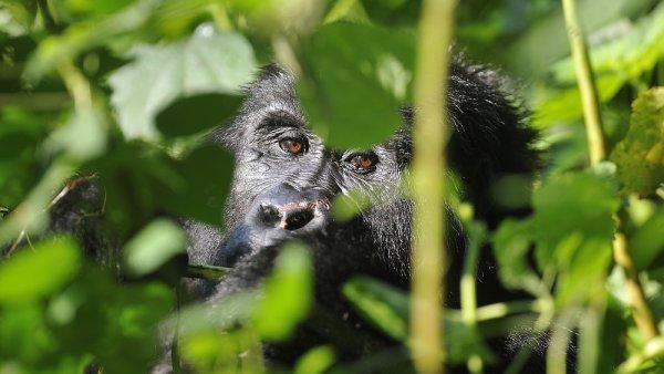 K ochraně Goril pomáhají příjmy z turismu