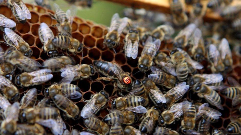 Mezi blanokřídlé patří i včely.