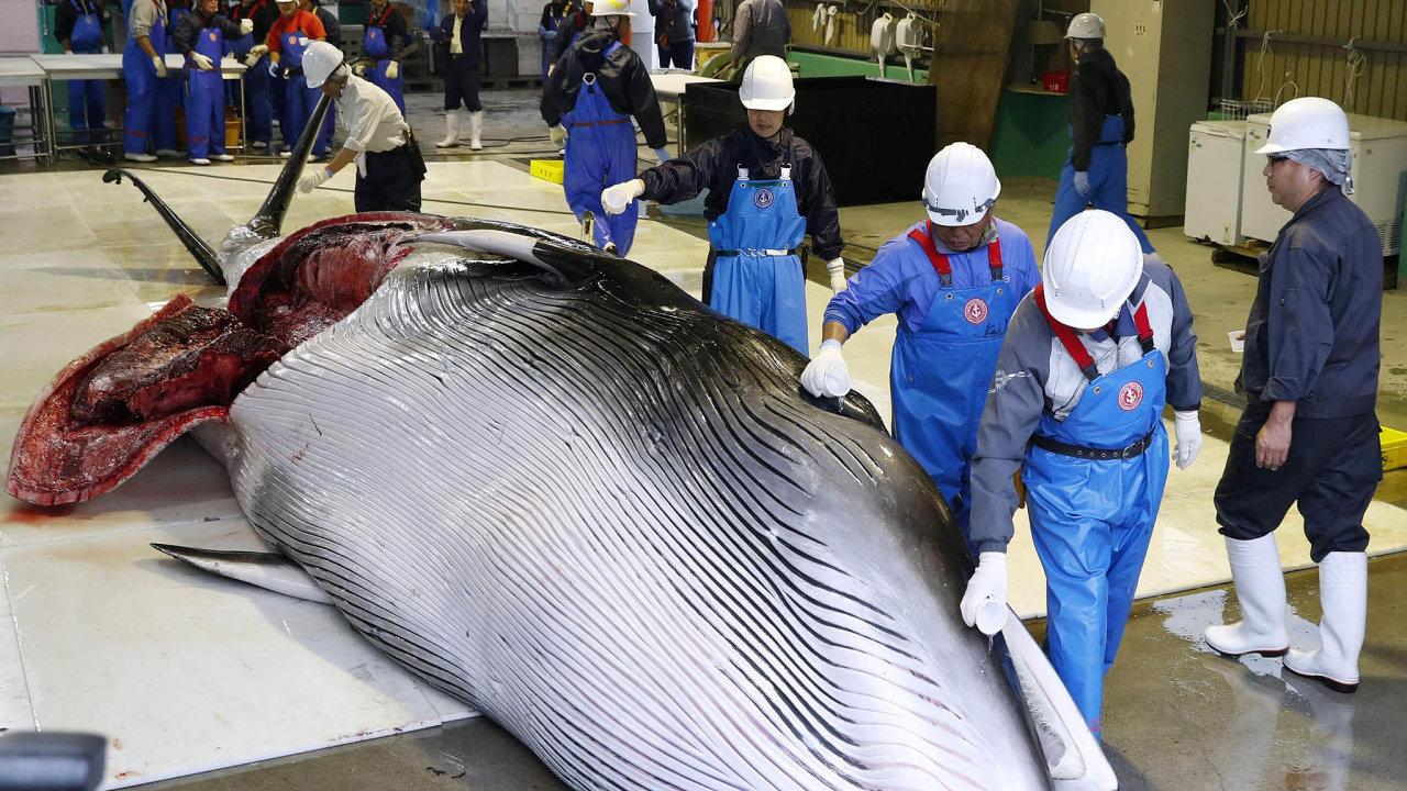 Komerční lov velryb zakazuje odroku 1988 nařízení Mezinárodní velrybářské komise.