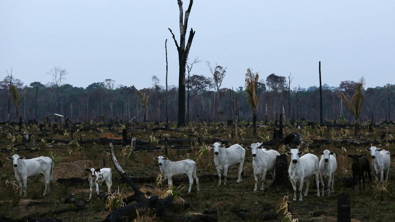 Pastviny místo lesa. Vroce 2017 dostala JBS pokutu 7,7 milionu dolarů zanákup více než 49 tisíc kusů skotu znelegálně odlesněných oblastí.