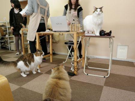Kočičí kavárna Nekorobi