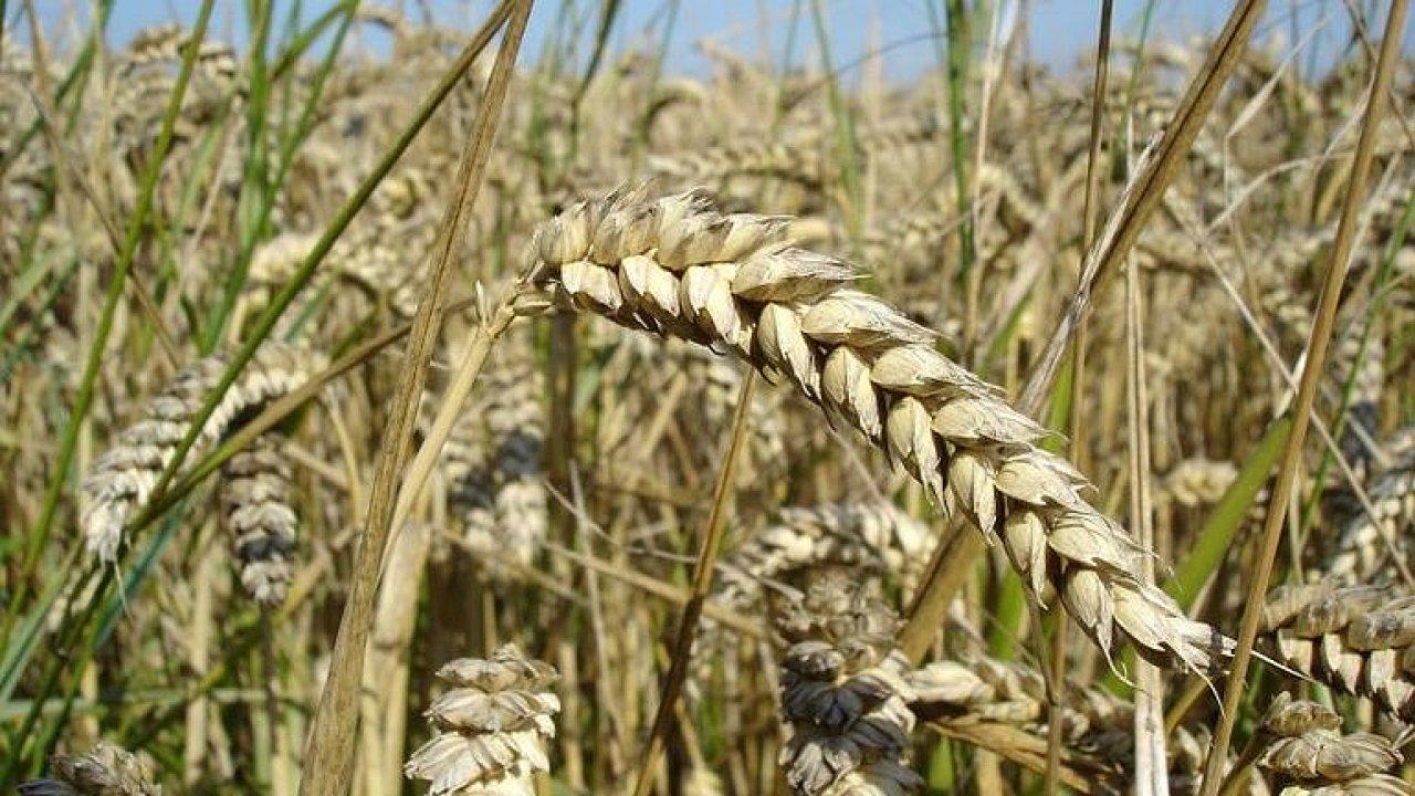 Vědci rozluštili genom pšenice. Je složitější než u člověka