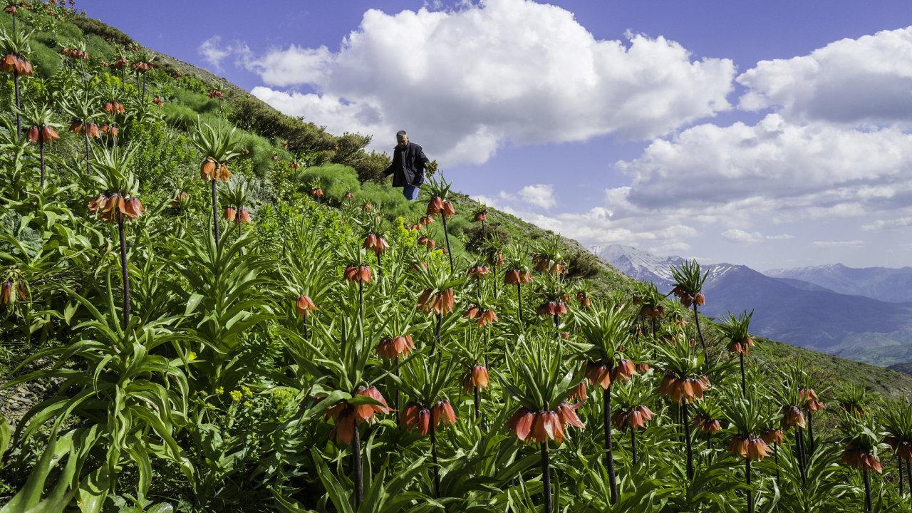 Najaře nasvazích Halgurdu rozkvetou oranžové řebčíky. Některé však rostou vminových polích. Horal Abdulah Osman Abdulah ví, kam až může zajít, když jde trhat divokou rebarboru.