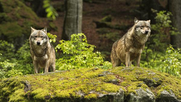 Vlci se vrátili do české přírody - Ilustrační foto.