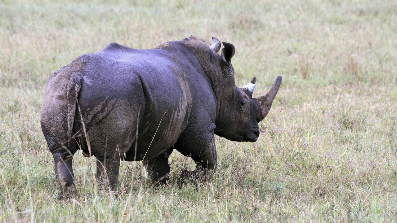 Jedno z nejohroženějších zvířat - nosorožec.