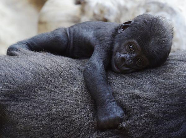 Křtiny samečka gorily nížinnénarodil 23. dubna se uskutečnily 19. června v Praze.