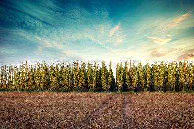 """Po loňsku, kdy pěstitelé """"zeleného zlata"""" sklidili nejméně za poslední tři roky, podle chmelařů vypadá letošní sklizeň o poznání lépe."""