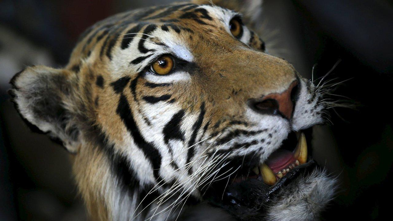 Vypreparovaný tygr