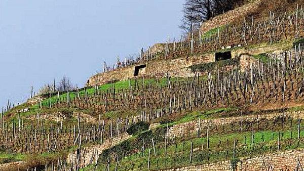 Ve Francii je ryzlinku zaslíbeno Alsasko
