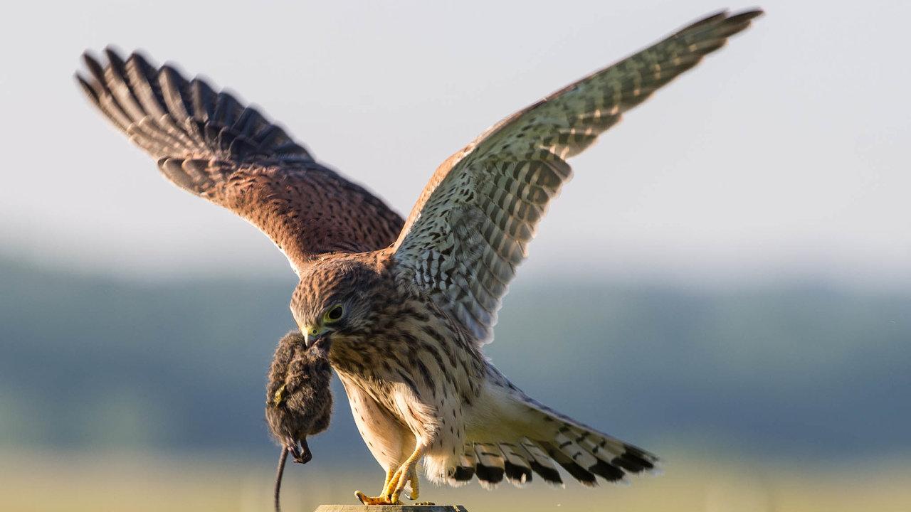 Ekologové mají obavy: Podle ornitologů aochránců přírody může být jed nebezpečný ipro jiná zvířata. Osudným se může stát také dravcům, kteří uloví otrávené hraboše.