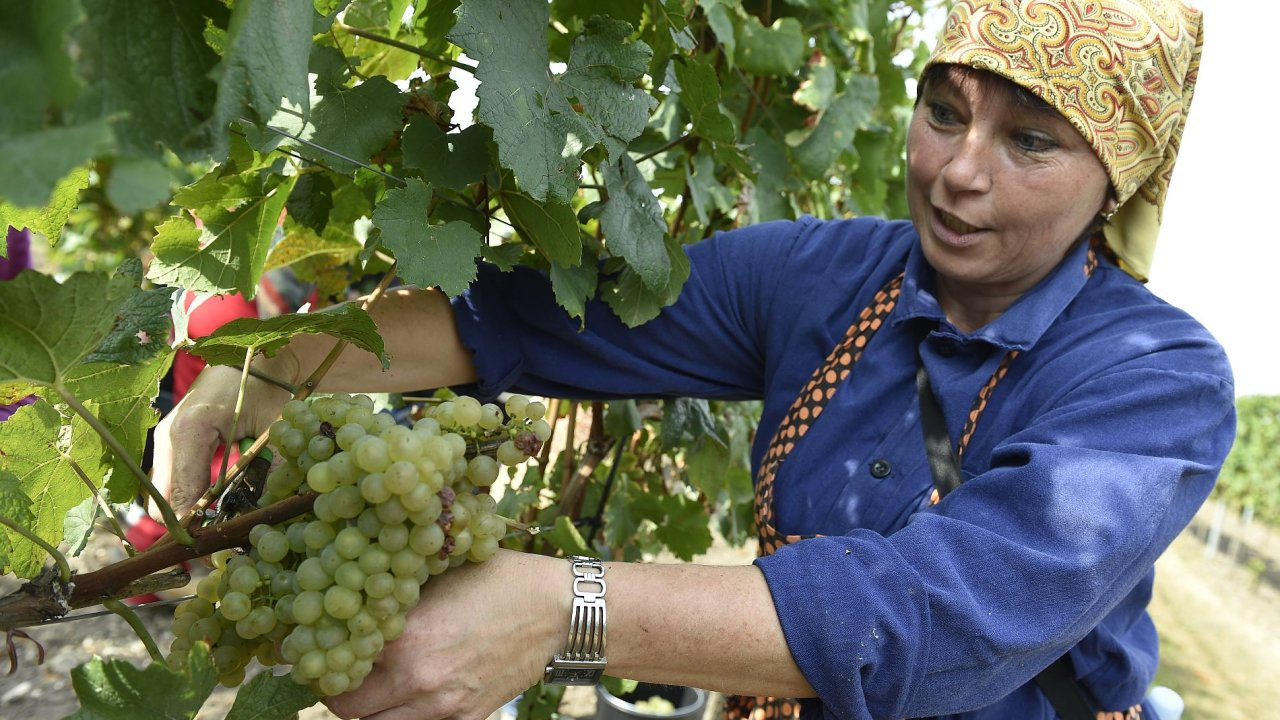 Valtice, víno, vinobraní