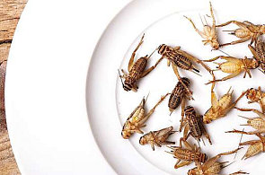 Mouka z cvr�k� nab�v� na popularit�, hmyz� sm�s se p�im�ch�v� do proteinov�ch ty�inek a su�enek