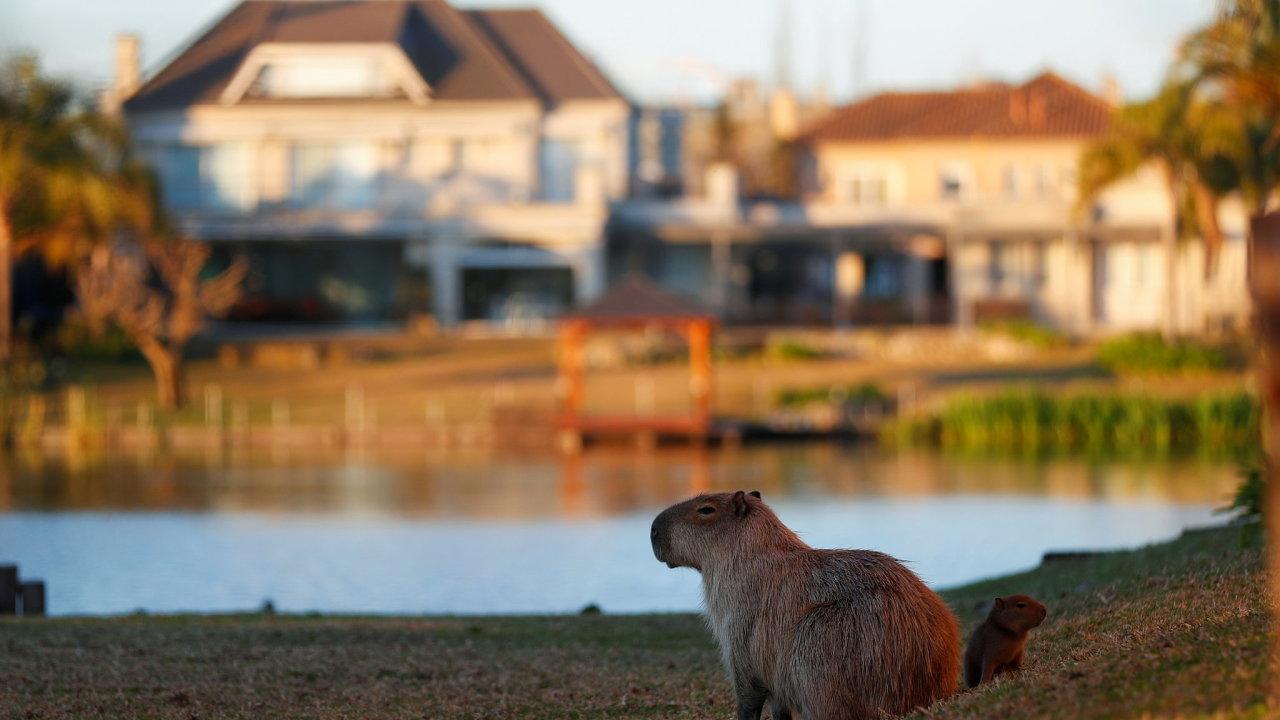 Kapybary: Přišly jsme se k vám vykoupat.