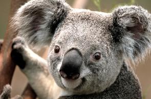 koala_295x195.jpg