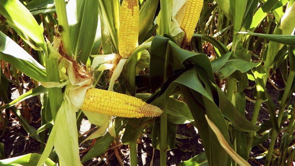 Americkou úrodu kukuřice letos poničilo sucho.