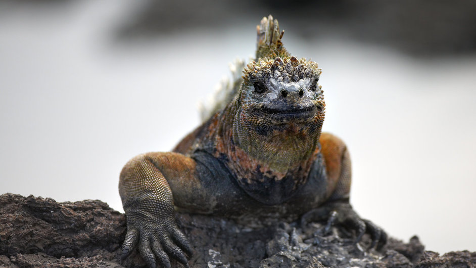Leguán mořský, žijící na souostroví Galapágy, jako jediný z ještěrů hledá potravu v moři.