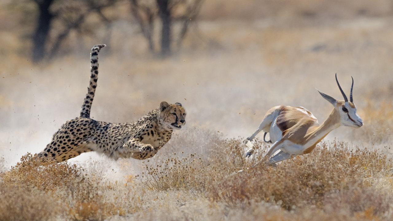 gepard, příroda, gazela