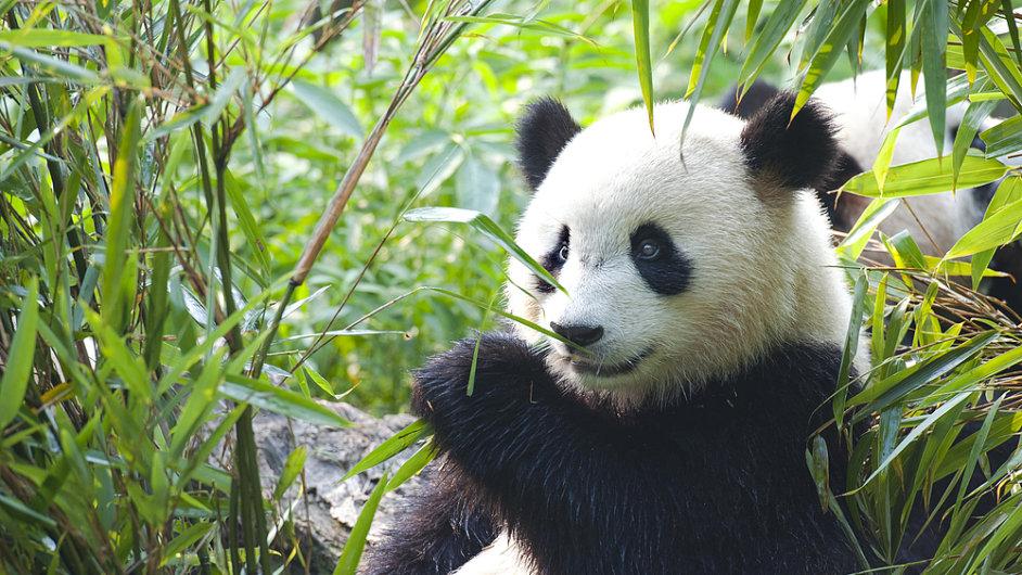 Pandy podobně jako lidé mají kostru uzpůsobenou vzpímenému sezení - Ilustrační foto.