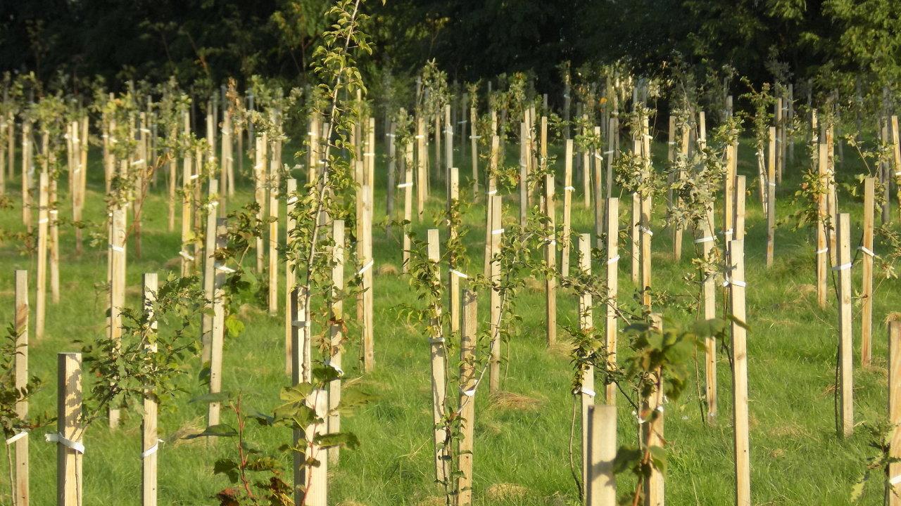 Nově vysázené stromky tvoří základ budoucího luhu