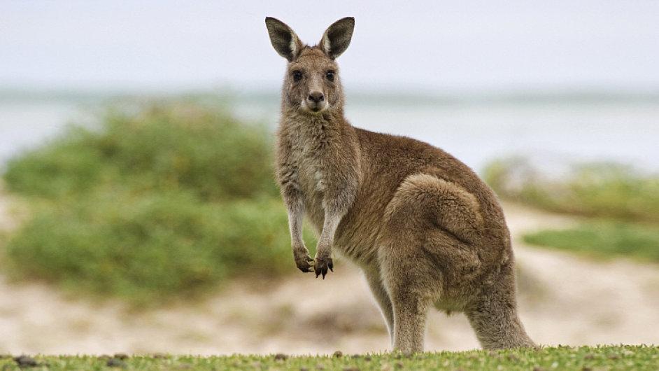 Klokany v Austrálii příliš nejedí. Mimo jiné pro to, že jim připadají roztomilí.