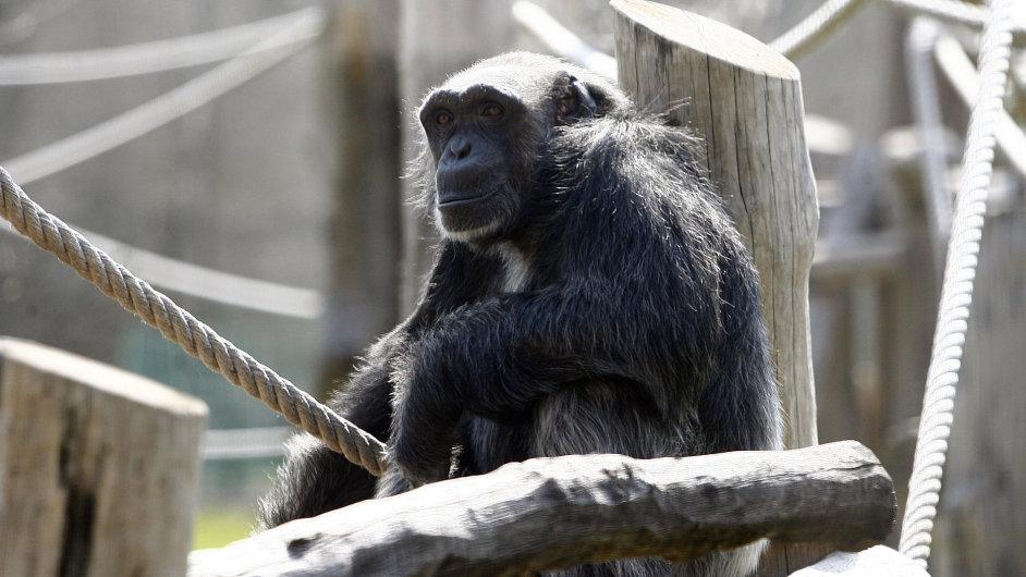 Šimpanzi s lidmi sdílí asi 98 % genů, a jsou tak našimi nejbližšími příbuznými.