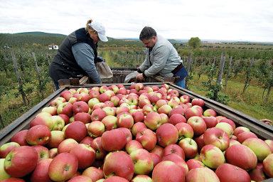 U jablek se čeká meziroční nárůst sklizně o 48 procent. Lepší úroda by mohla snížit současné, historicky nejvyšší ceny této plodiny v Česku - Ilustrační foto.