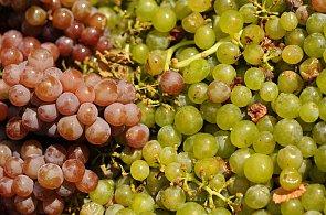 Opom�jen� �echy: V�na z �esk�ch vinic b�vaj� pova�ov�na za m�n� hodnotn� ne� v�na moravsk�. Nemus� to ale b�t pravda