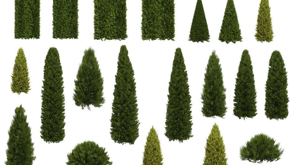 """Túje a zeravy můžete sázet """"nahusto"""" do živých plotů či stříhat do velmi bizarních tvarů."""