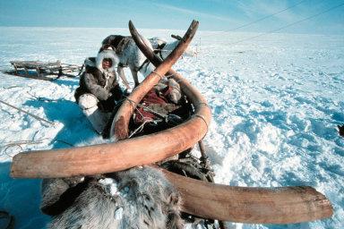 V zamrzlé půdě odlehlých ruských oblastí se nacházejí desítky koster mamutů. S jejich kly se obchoduje už od carských dob, jsou velmi cenné a především čínští obchodníci za ně platí vysoké částky.
