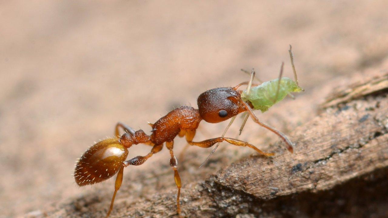 Kromě zajímavého prodlužování života u mravenců rodu Temnothorax zjistili vědci také, že jim sociální izolace život naopak zkracuje.