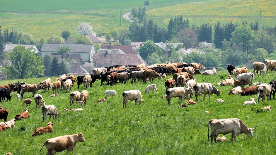 Česká kráva, české krávy, mléko, louka, ilustrační foto