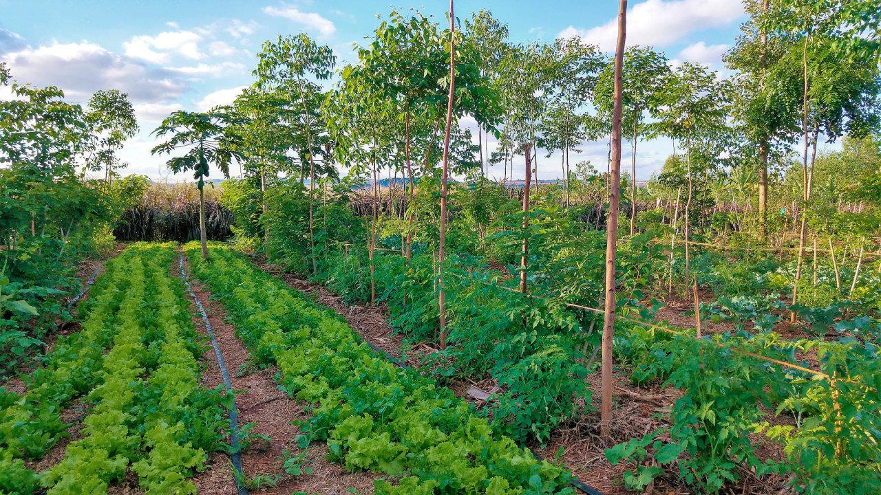 Proměna agrokrajiny. Stromořadí vysázené do pole by mělo posloužit stejně jako remízek či alej, jak je známe z minulosti.