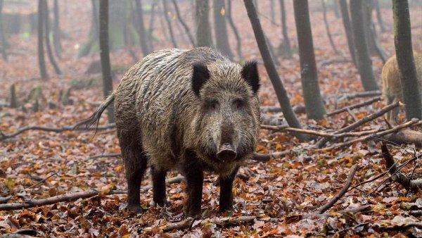 Divoká prasata chutnají myslivcům. Cs137 se tak dostane do žravého myslivce.