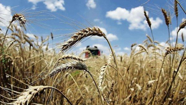 Sklizeň obilí letos klesne o 13 procent, méně bude i řepky a máku.