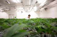 V Kanadě jsou firmy obchodující s konopím na burze. Český byznys s cannabisem zatím na podobný impuls čeká