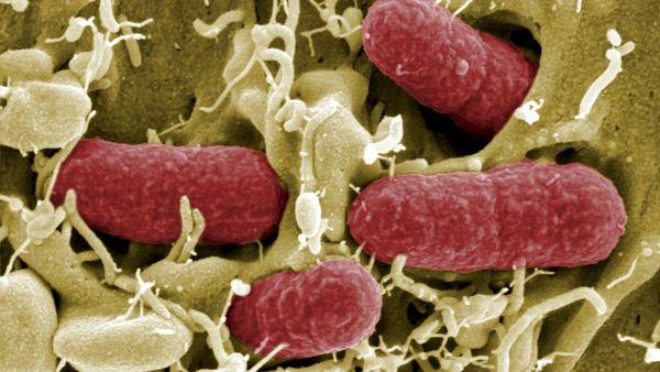 bakterie EHEC