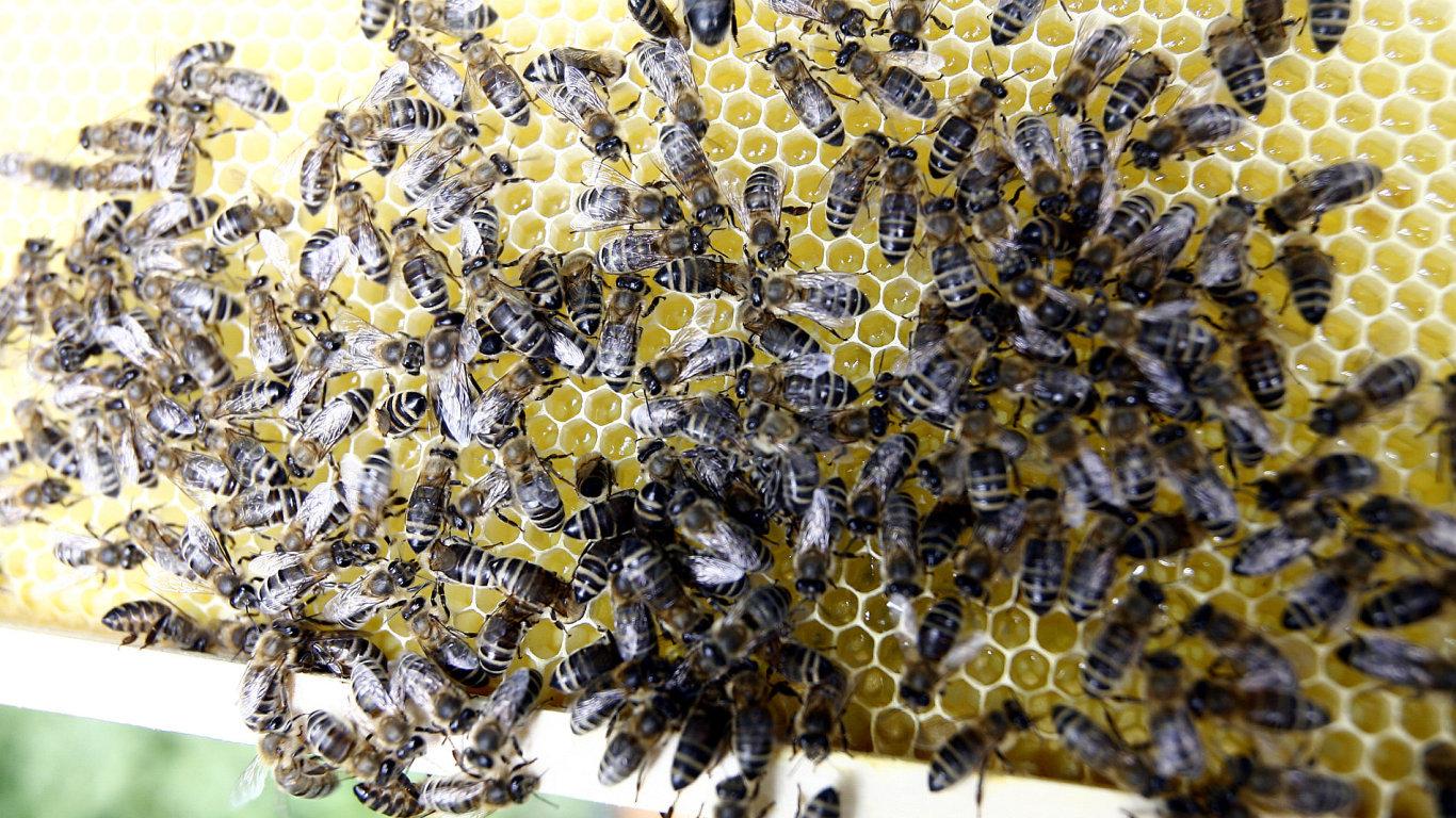 Včely na plástvi - ilustrační foto