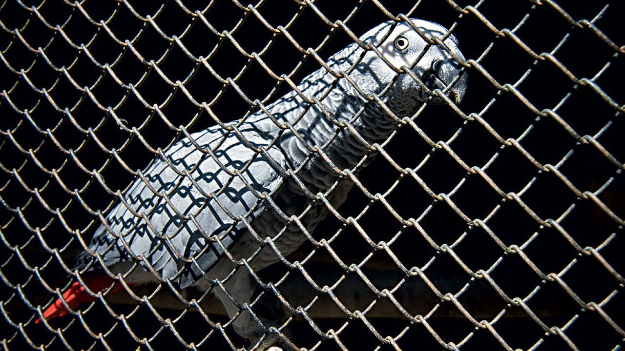 Nebezpeční uprchlíci: papoušek šedý