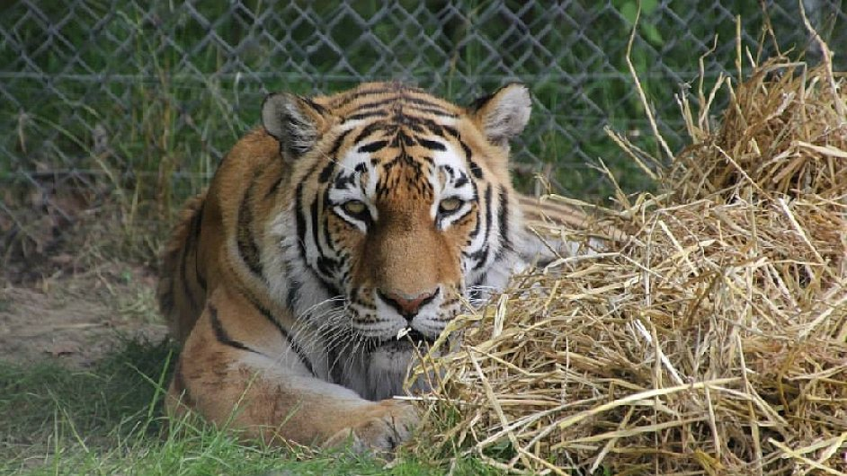Tygřice Nina v táborské zoo.