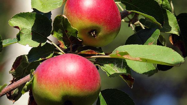 Česat se dají jablka přímo z jabloní ilustrační foto