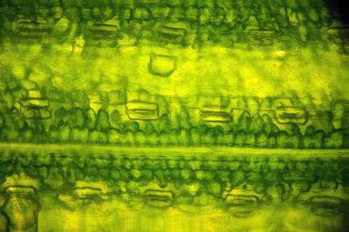 Největší naděje při výzkumu fotosyntézy se vkládají domožnosti vyrábět sjejí pomocí paliva nebo elektřinu.