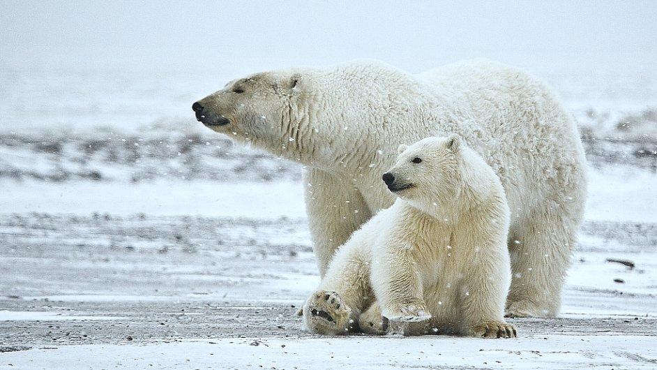 Ilustrační foto - Lední medvěd