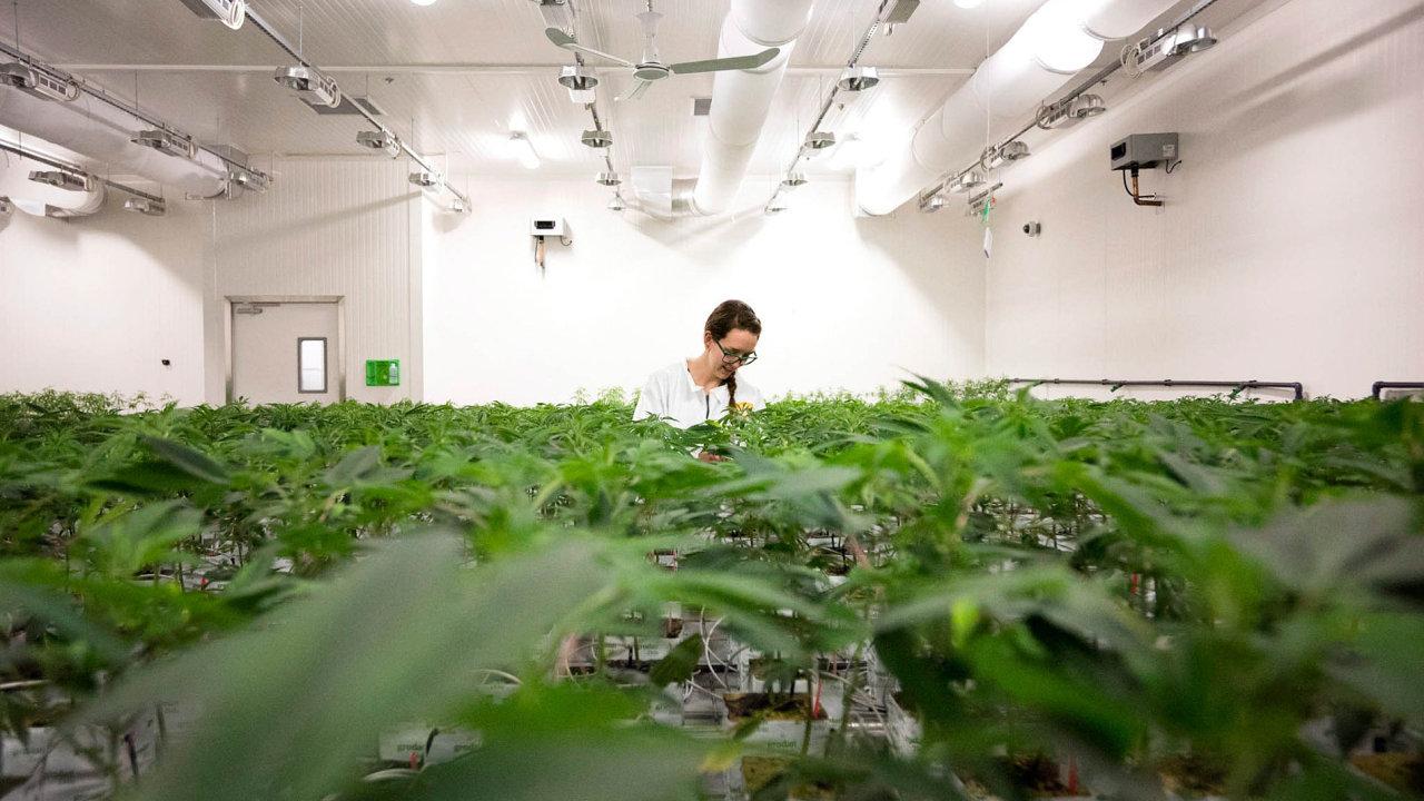 Výrobní manažerka Emily Moellerová vtorontské pěstírně Bedrocan Canada ošetřuje rostliny konopí.