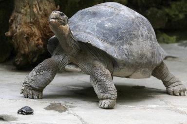 Rod zachráněn. Dlouhověké želvy sloní mají vystaráno, jejich supersamci se v uplynulých desetiletích pod dohledem lidí postarali o potomstvo.